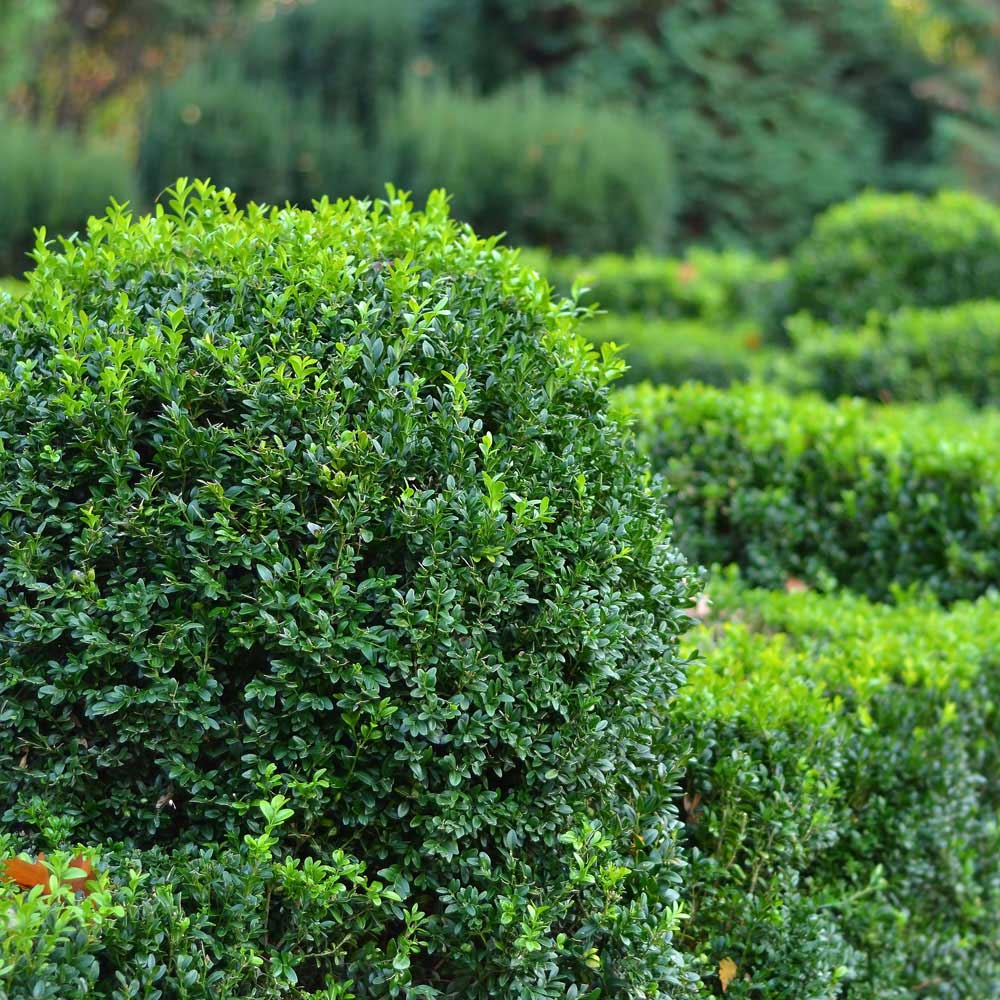 Shrubs & Hedges Service