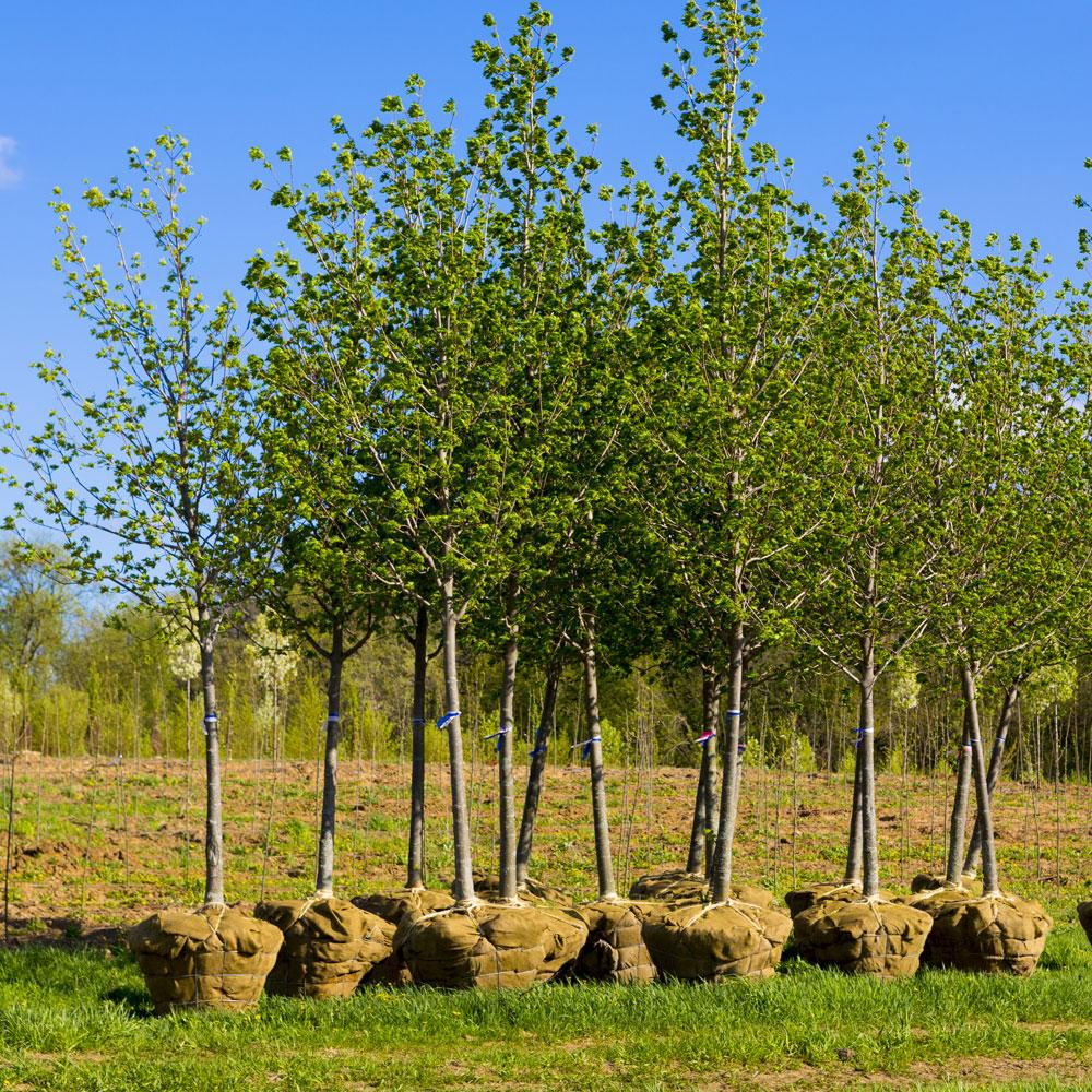 Tree Planting Service